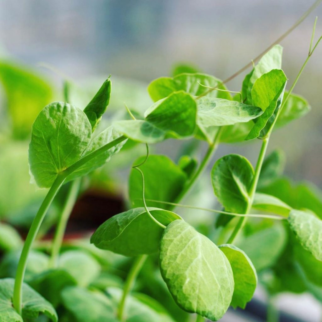 Young Pea Shoots