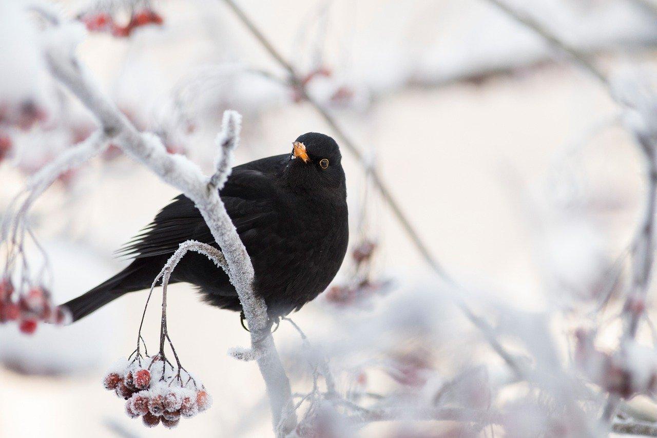 Irish language bird names