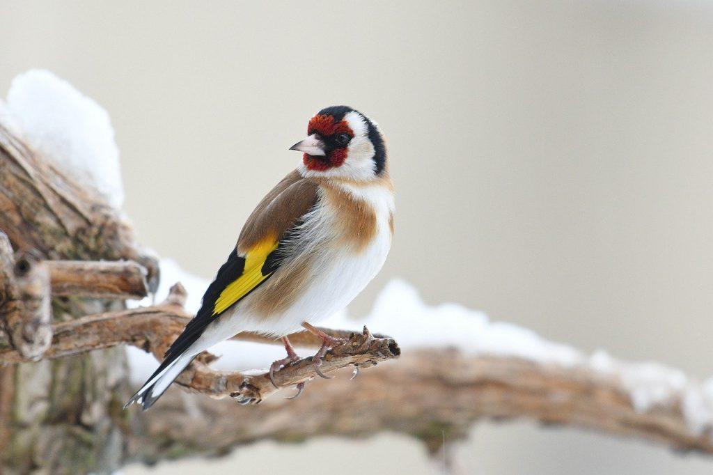 goldfinch 4232130 1280