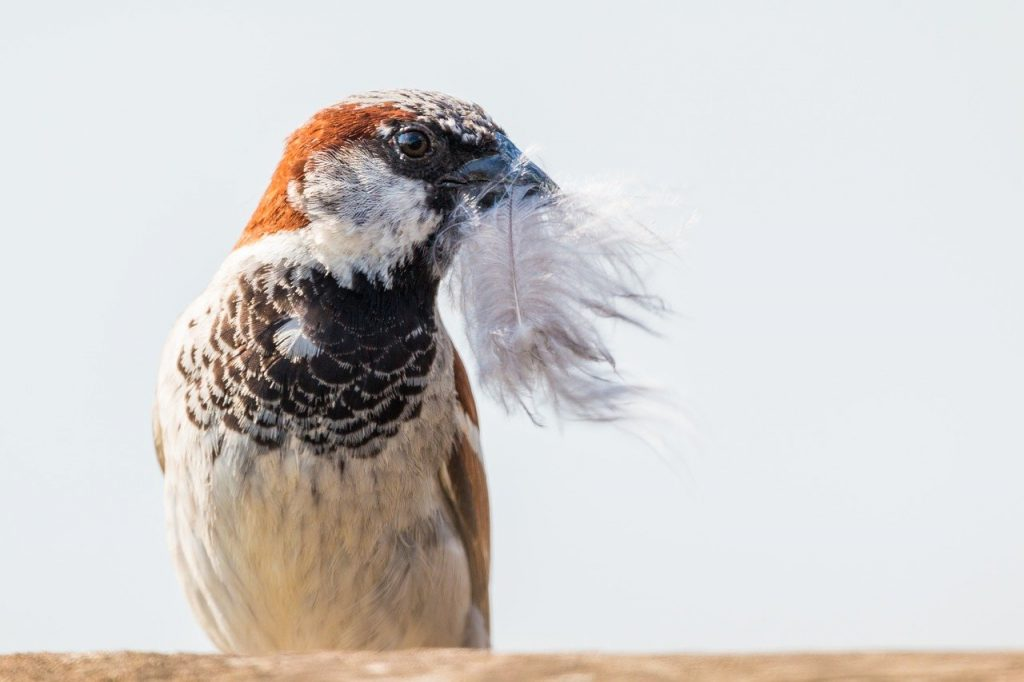 house sparrow 2591593 1280
