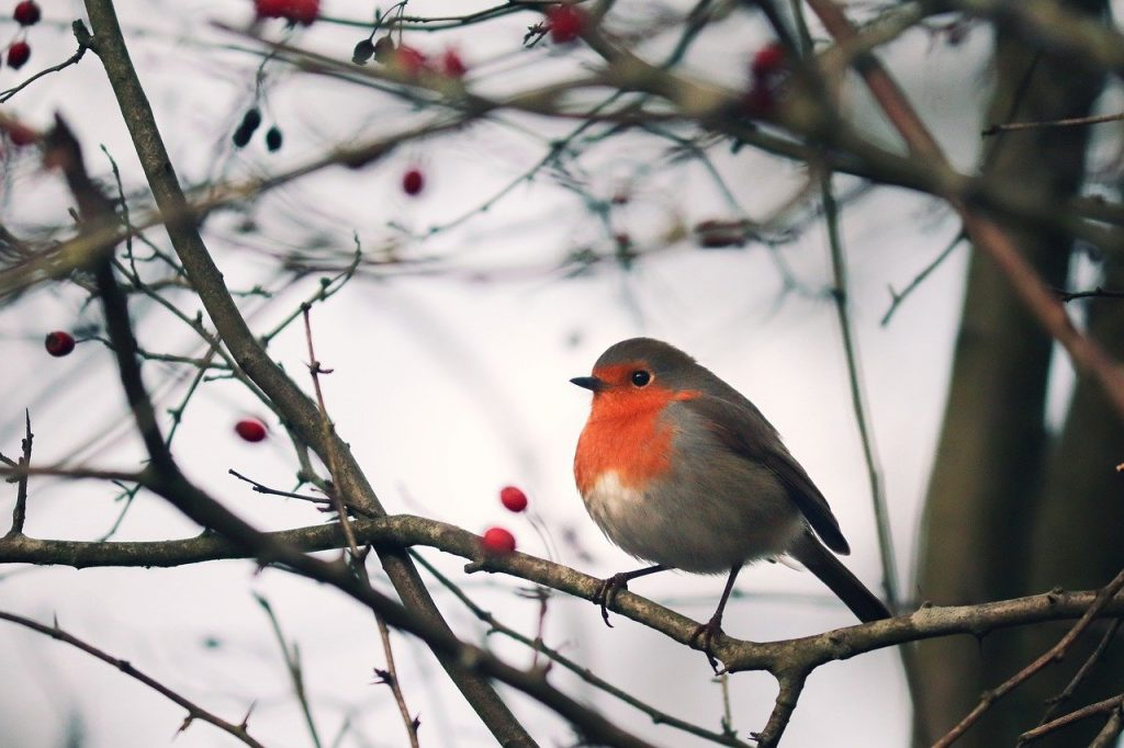 Irish language bird names - spideog (robin)