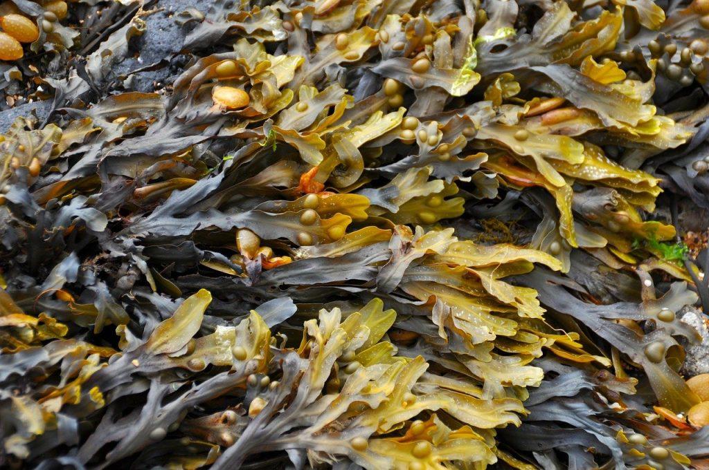 Irish words for seaweed